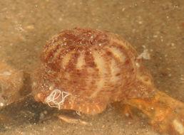 Image of parasitic anemone