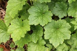 Image of bigflower tellima