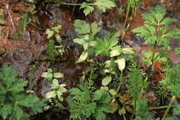Image of <i>Peronospora grisea</i>