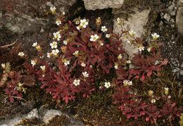 Image of nailwort