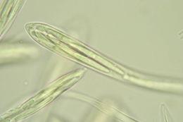 Image of Phacidiaceae