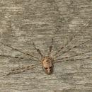 Image of <i>Dicranopalpus caudatus</i>