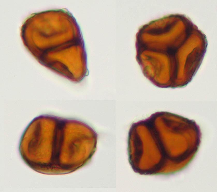Image of Meadowsweet rust gall