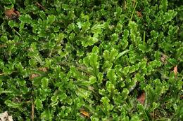 Image of <i>Marchantia polymorpha</i> fm. <i>inundata</i>
