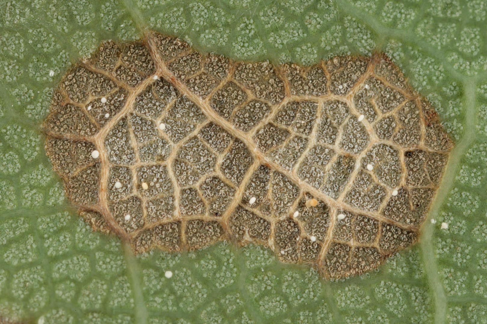 Image of <i>Cristulariella depraedans</i> (Cooke) Höhn. 1916