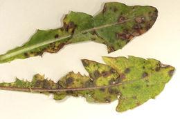 Image of <i>Mycosphaerella hieracii</i> (Sacc. & Briard) Jaap 1908