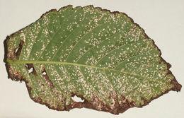 Image of <i>Mycosphaerella ulmi</i> Kleb. 1902