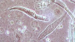 Image of <i>Hydropus floccipes</i> (Fr.) Singer 1962