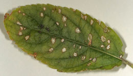 Image of <i>Cercospora mercurialis</i> Pass. 1877