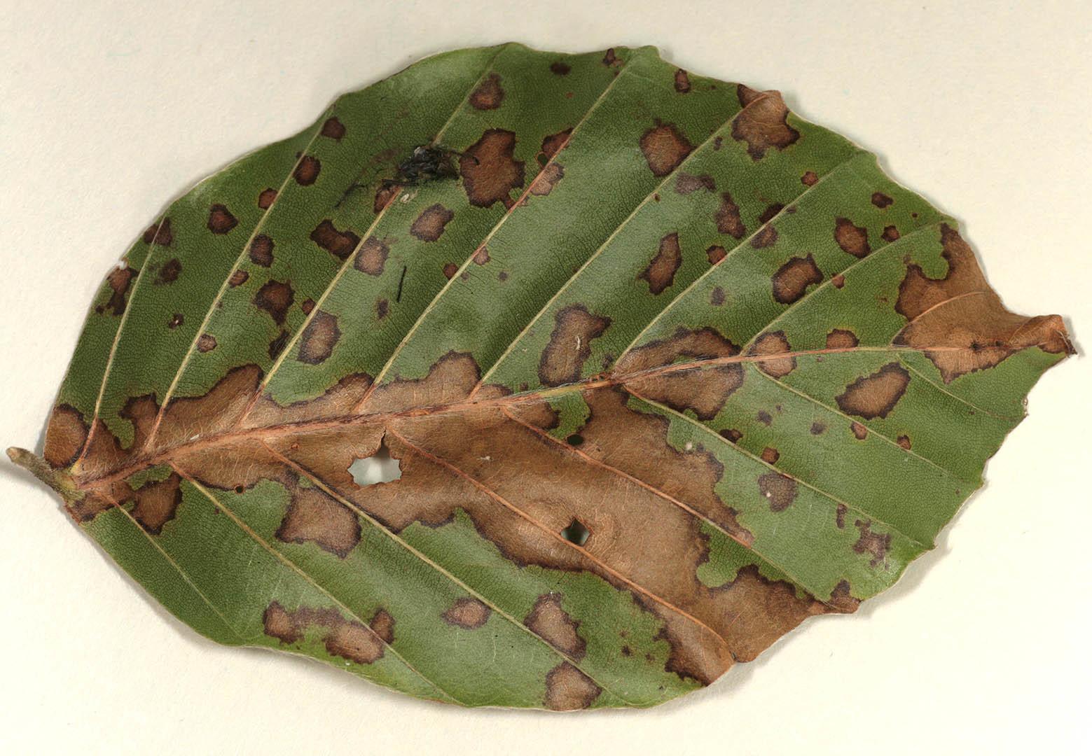 Image of Hyalopeziza