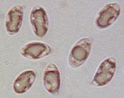 Image of <i>Clavulinopsis luteoalba</i> (Rea) Corner 1950