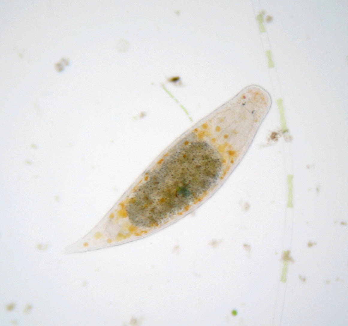 Image of Macrostomum