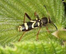 Image of Wasp beetle