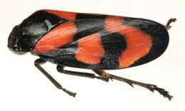 Image of black-and-red froghopper