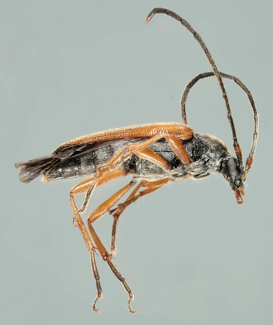 Image of <i>Alosterna tabacicolor</i> (Degeer 1775)