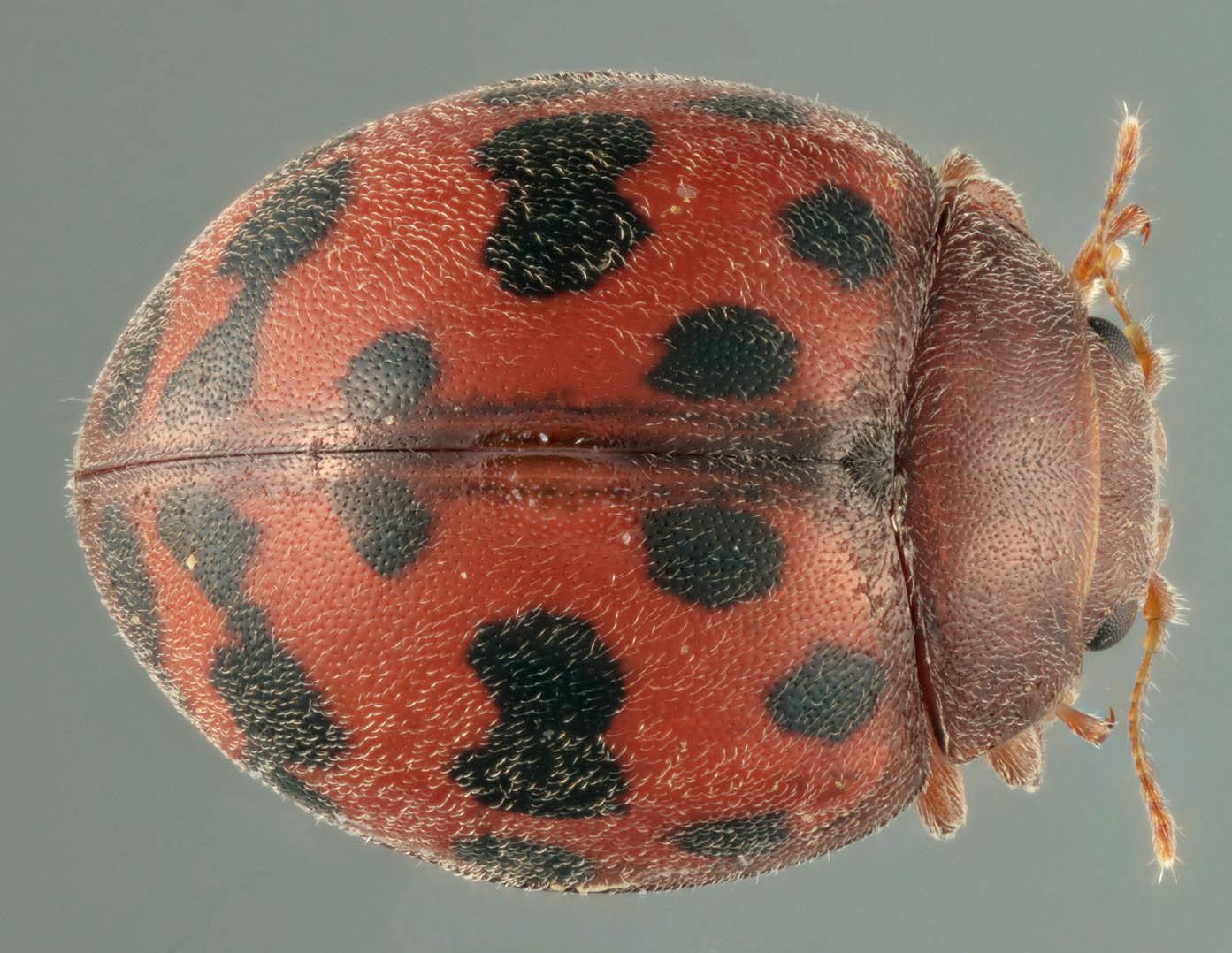 Image of <i>Subcoccinella vigintiquattuorpunctata</i>