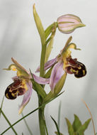 Image of Bee orchid