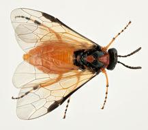 Image of Beet Sawfly