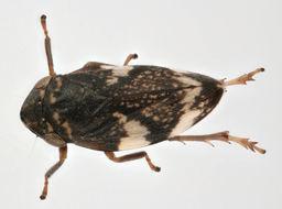 Image of <i>Philaenus spumarius quadrimaculatus</i>