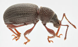 Image of Strawberry Root Weevil