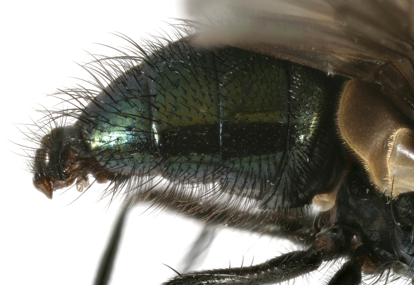 Image of <i>Pyrellia rapax</i> (Harris 1780)