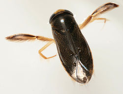 Image of Lesser water boatman