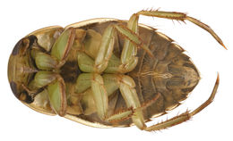 Image of <i>Ilyocoris cimicoides</i>