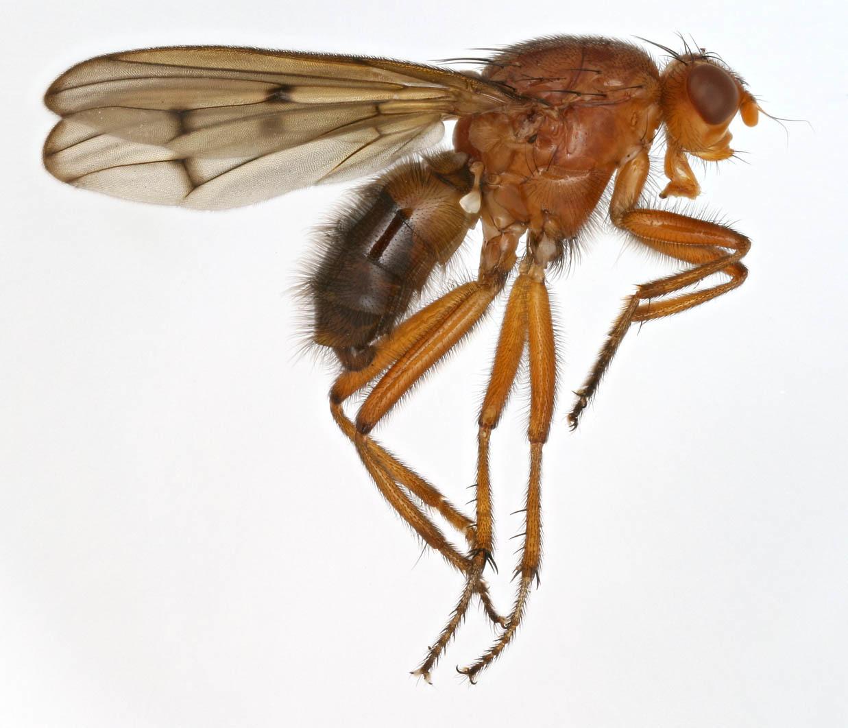 Image of <i>Neuroctena anilis</i> Fallen 1820