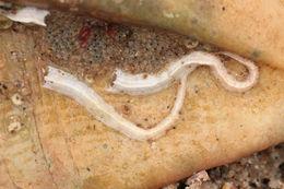 Image of <i>Spirobranchus lamarcki</i> (Quatrefages 1866)