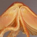 Image of <i>Hygrocybe mucronella</i> (Fr.) P. Karst. 1879