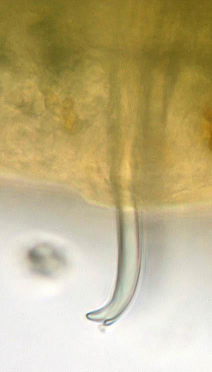 Image of California blackworm
