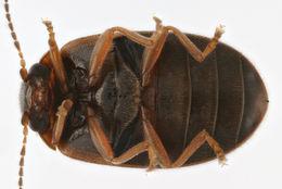 Image of <i>Cyphon variabilis</i> (Thunberg)
