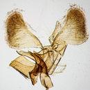 Image of <i>Parornix anglicella</i> (Stainton 1850)