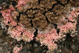 Image of <i>Marchandiomyces corallinus</i> (Roberge) Diederich & D. Hawksw. 1990