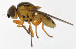 Image of <i>Thaumatomyia notata</i> (Meigen 1830)