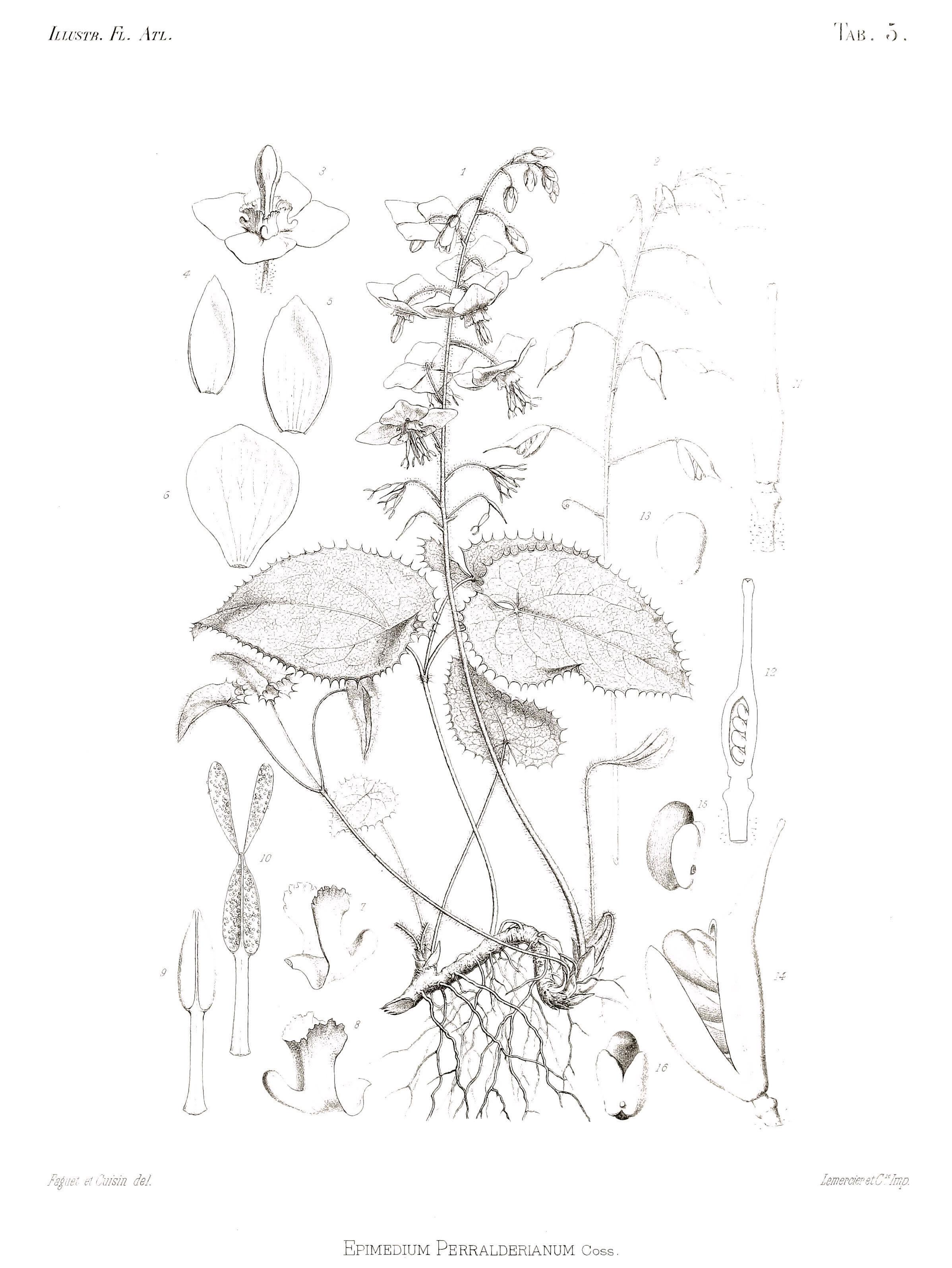 Image of <i>Epimedium perralderianum</i> Coss.