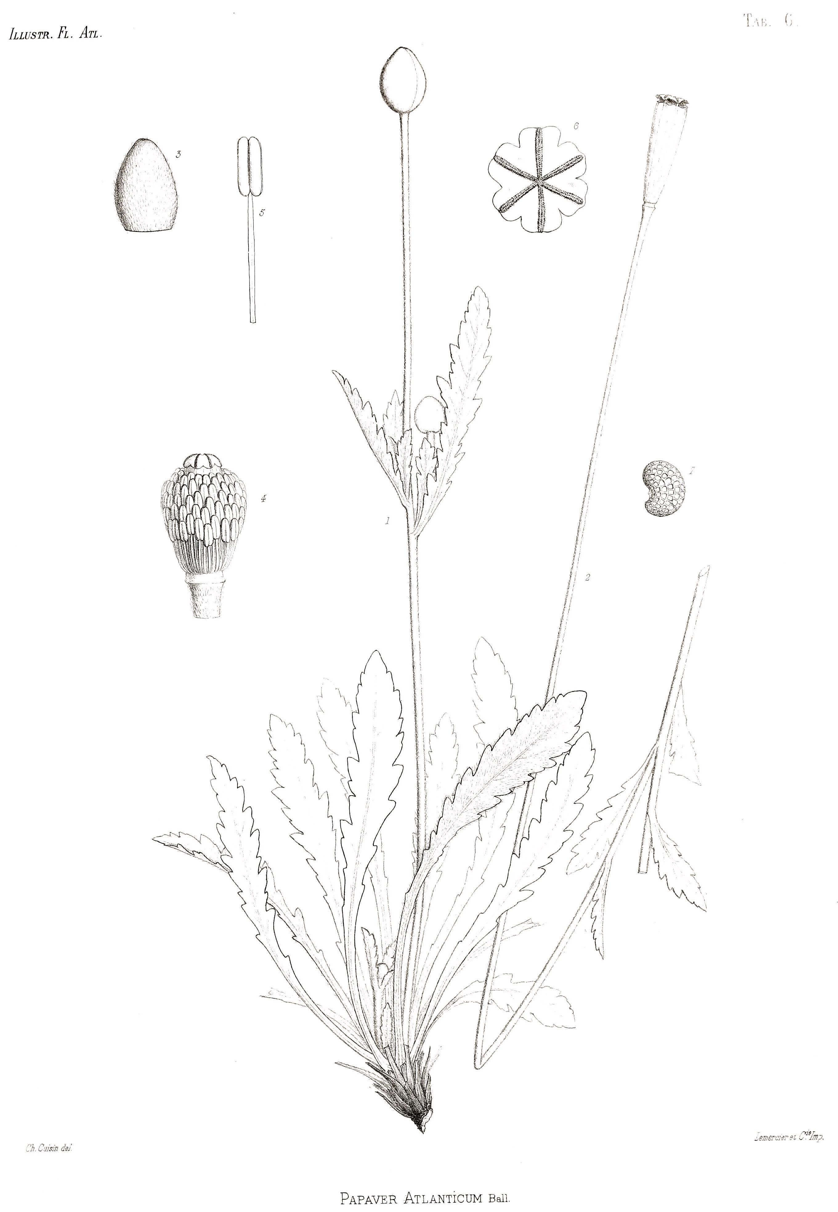 Image of <i>Hypecoum procumbens</i> L.
