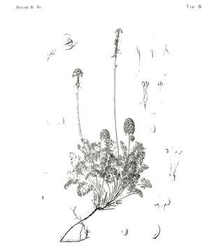 Image of <i>Platycapnos saxicola</i> Willk.