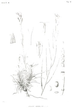 Image of <i>Erysimum semperflorens</i> (Schousb.) Wettst.