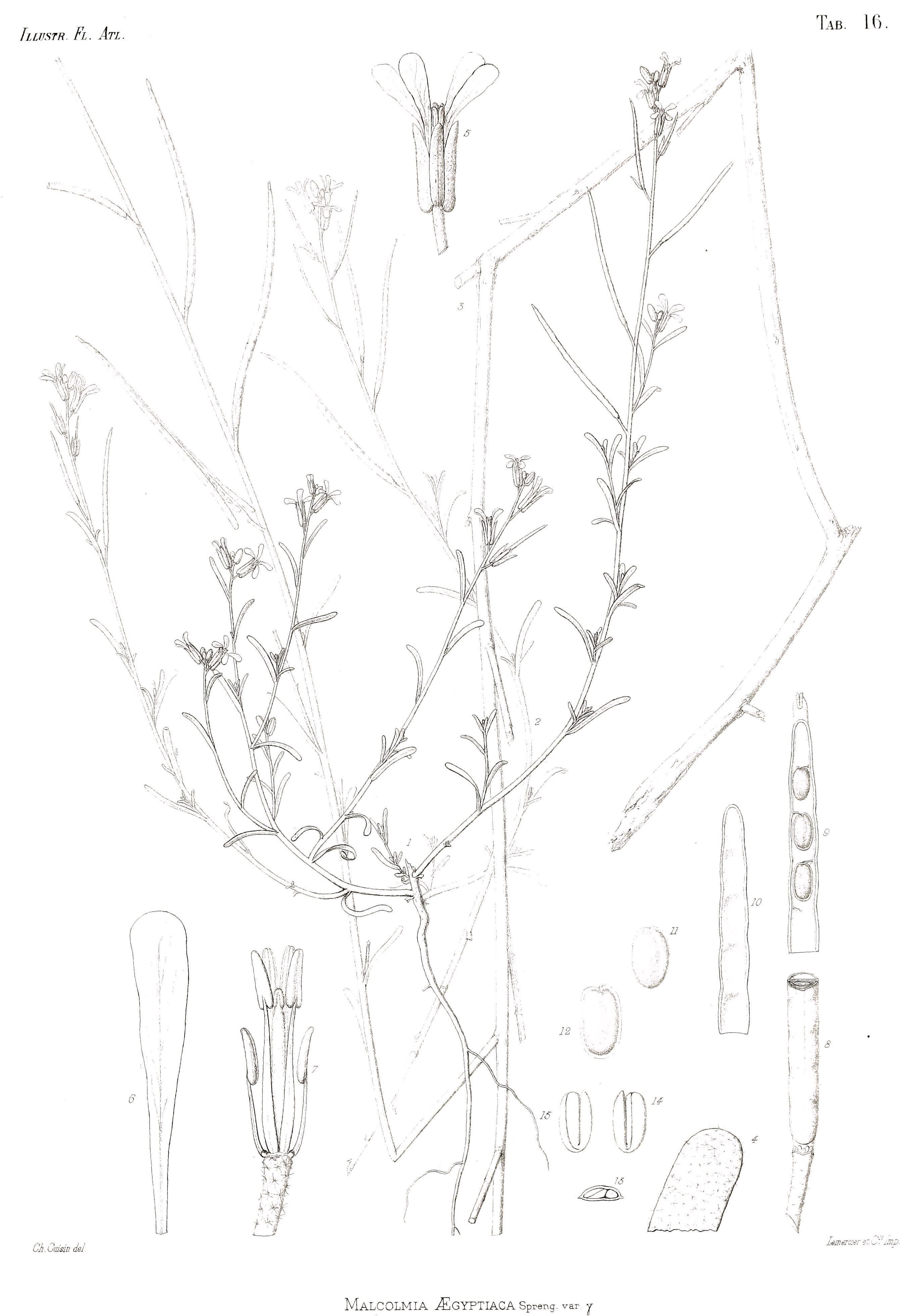 Image of <i>Eremobium aegyptiacum</i> (Spreng.) Asch.
