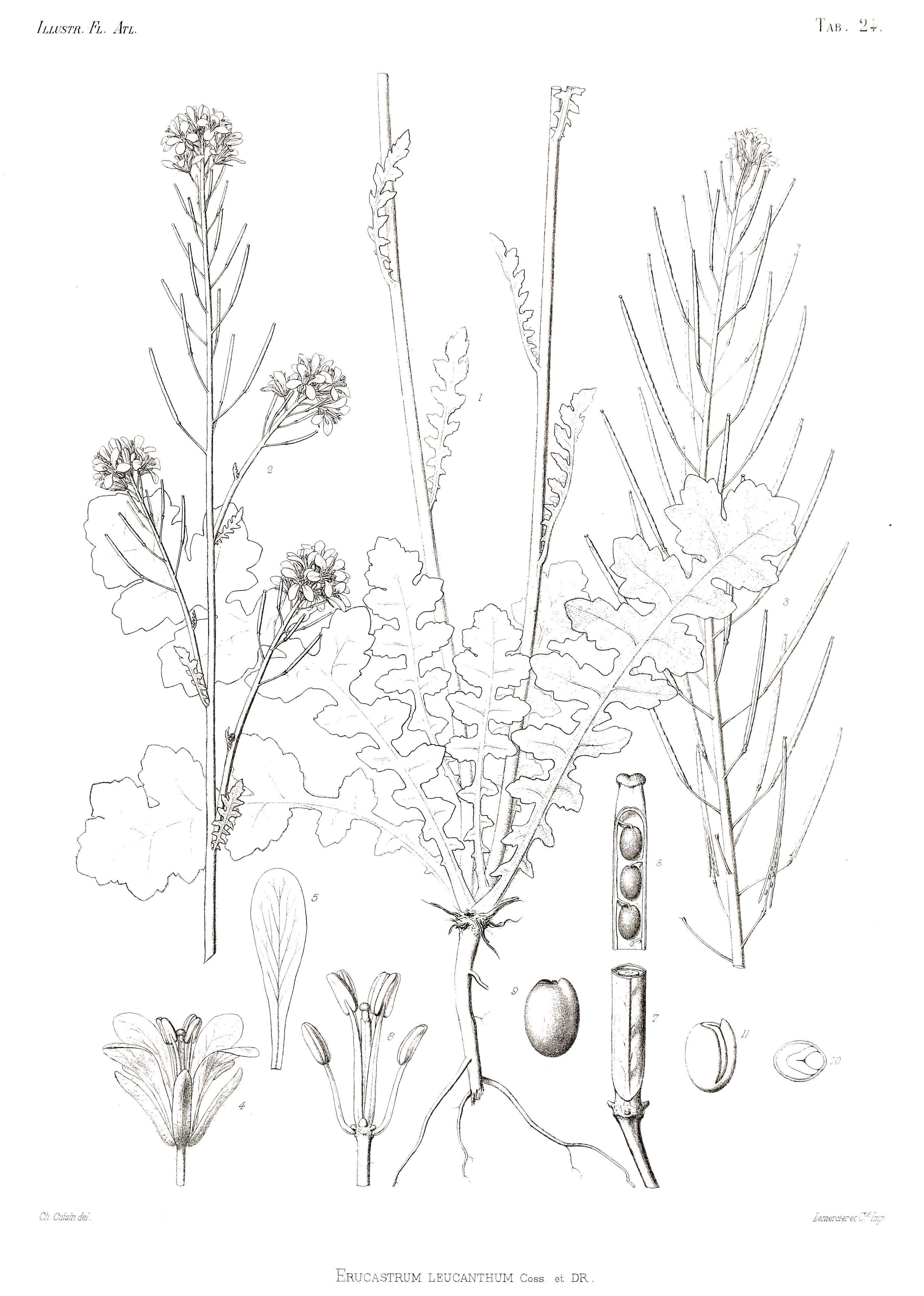 Image of <i>Erucastrum leucanthum</i> Coss. & Durieu