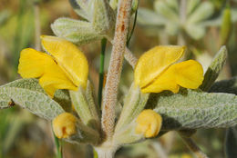 Image of <i>Phlomis brachyodon</i> (Boiss.) Zohary ex Rech. fil.