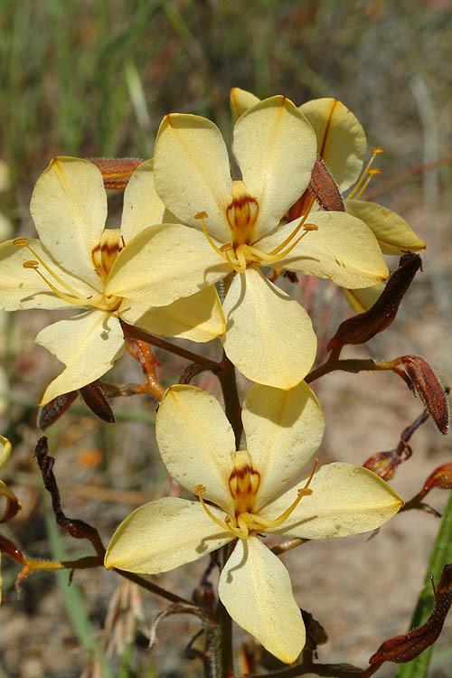 Image of <i>Wachendorfia paniculata</i> Burm.