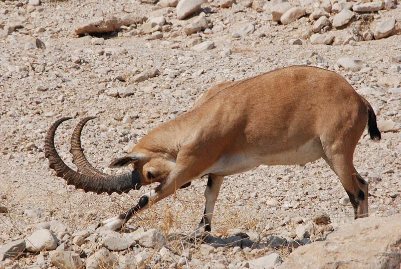 Image of Nubian Ibex