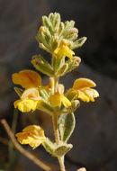 Image of <i>Phlomis brevilabris</i> Ehrenb. ex Boiss.