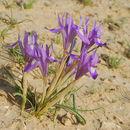 Image of Barbary Nut Iris