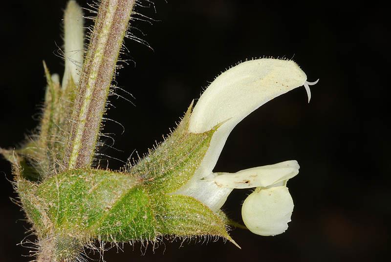 Image of <i>Salvia ceratophylla</i> L.