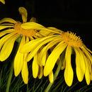 Image of Clanwilliam daisy