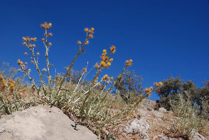 Image of <i>Centaurea onopordifolia</i> Boiss.