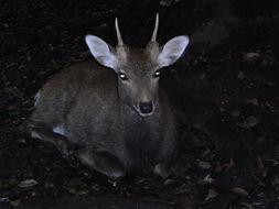 Image of sika deer